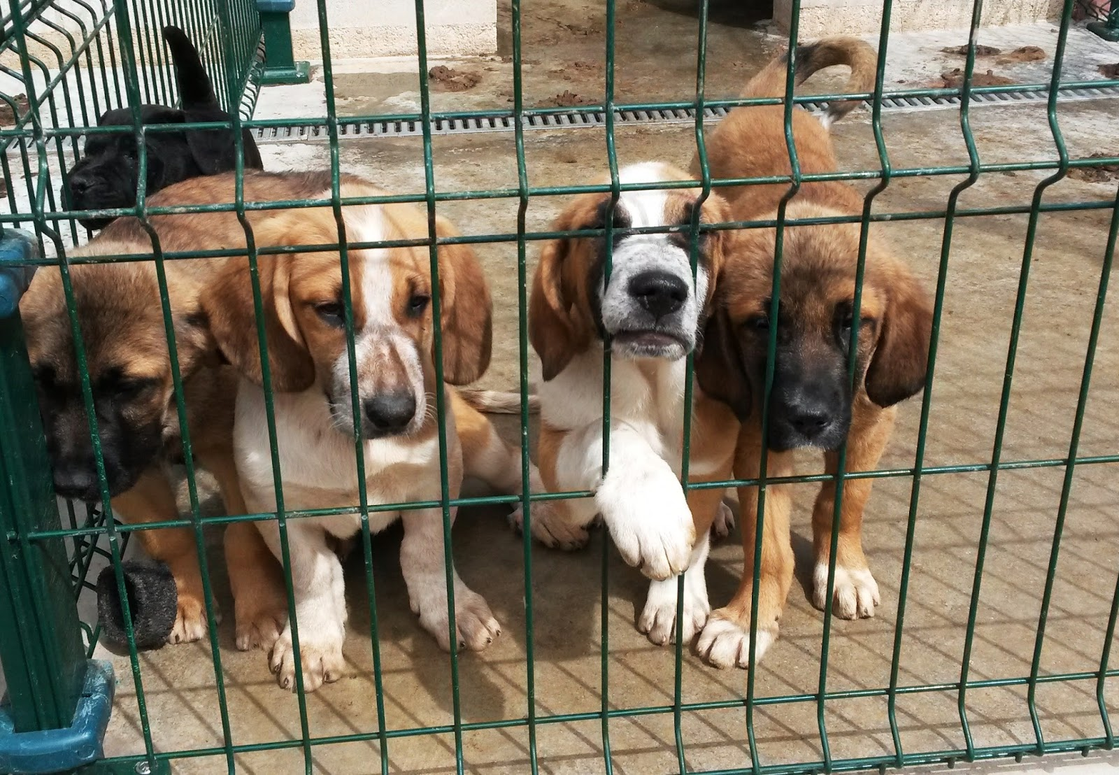 70 perros aguardan un hogar en la perrera comarcal de - Perrera de vilafranca ...
