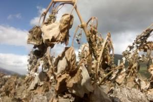 1,4 millones de euros para replantar viñedos arrasados por las heladas