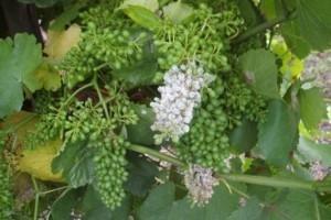 Jornadas sobre viticultura en la Cooperativa de A Rúa
