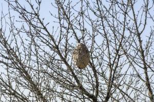 Plan de lucha contra la avispa velutina en Galicia