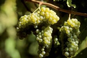 Conociendo las variedades de uva para vinos: Airén