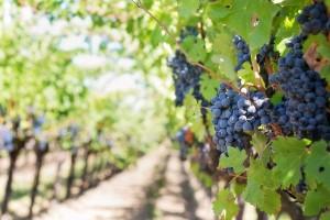 Préstamo vendimia: hasta 60 M€ para que las bodegas gallegas puedan comprar toda la uva en condiciones normales de mercado