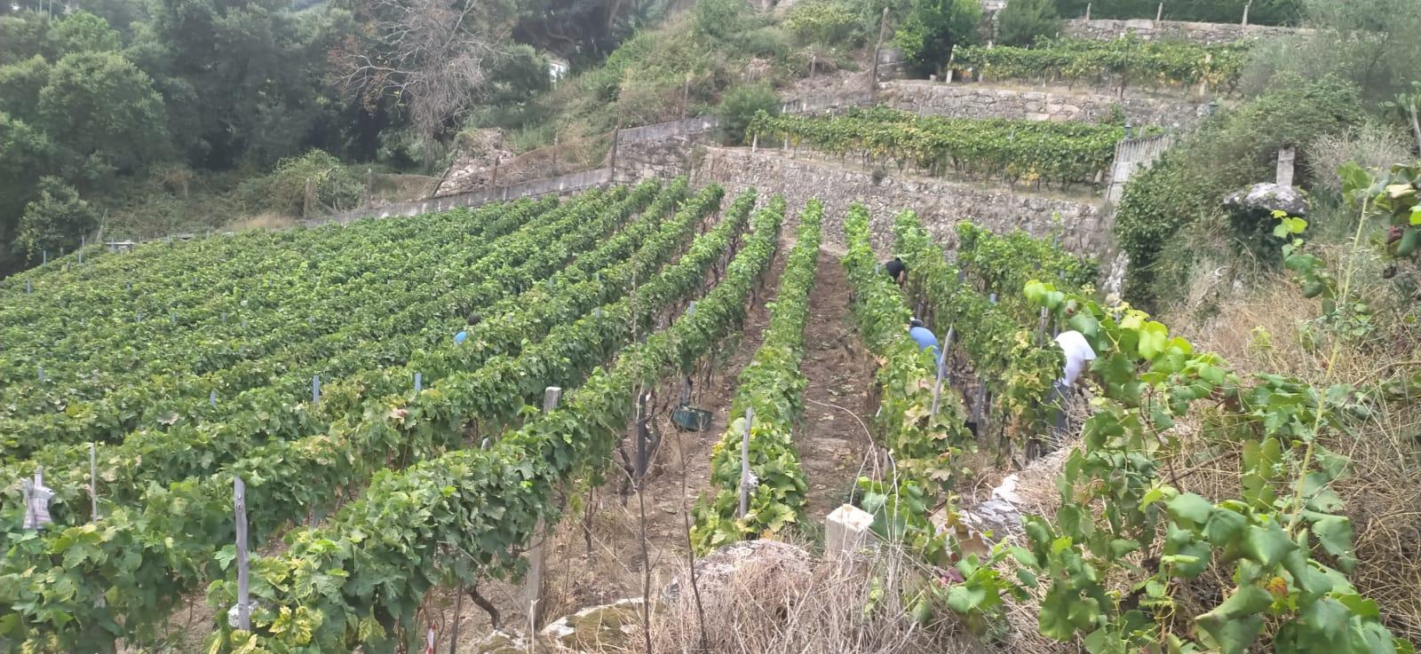 Calidad óptima que permitirá la elaboración de vinos reconocidos en todo el mundo